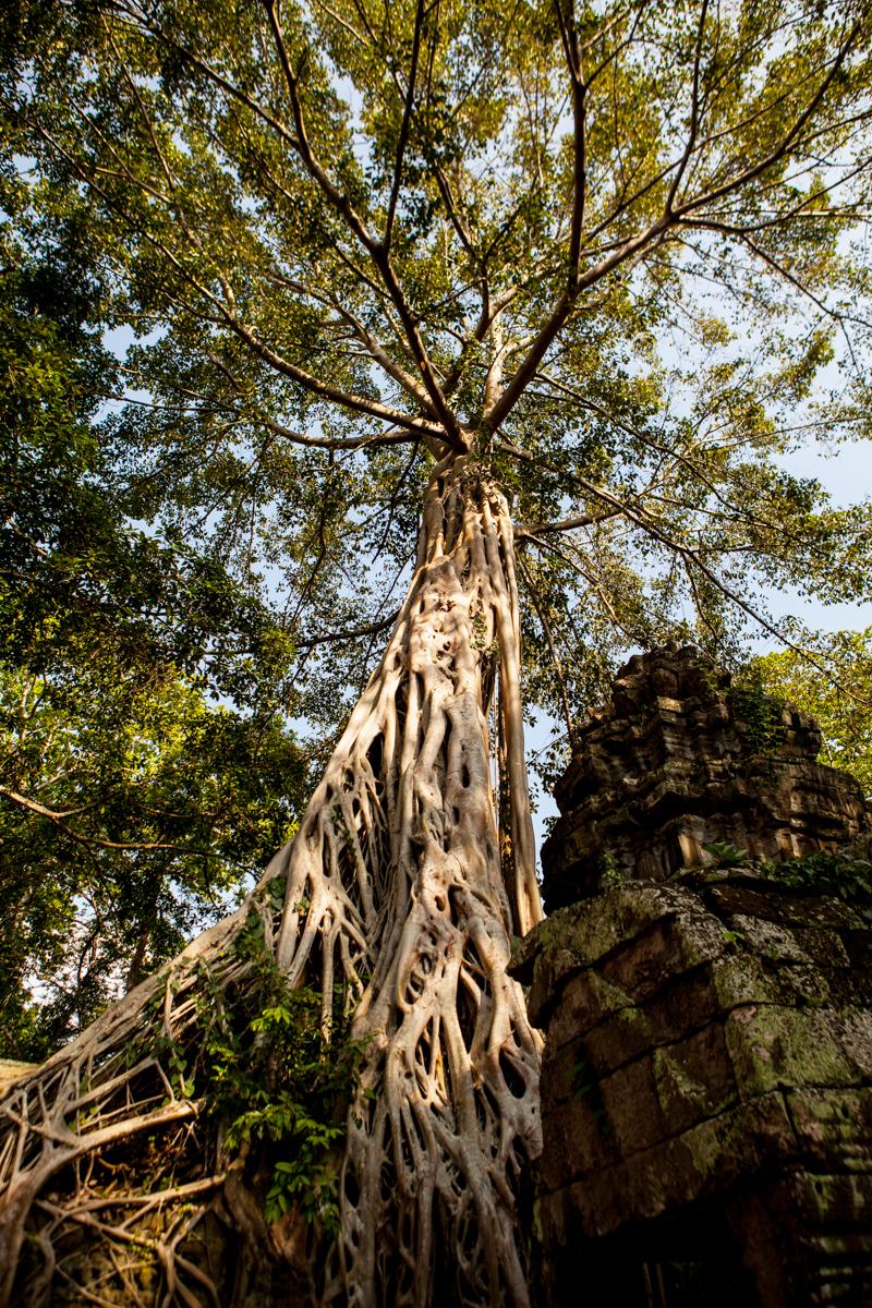 Angkor Wat Trees
